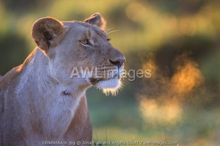 Africa, Kenya, Masai Mara, Narok County. Lioness watches alert.