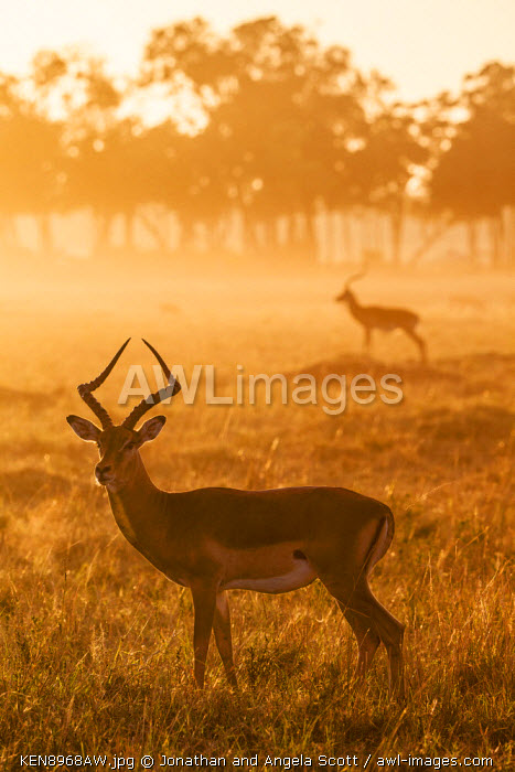 Africa, Kenya, Masai Mara, Narok County. A watchful Impala