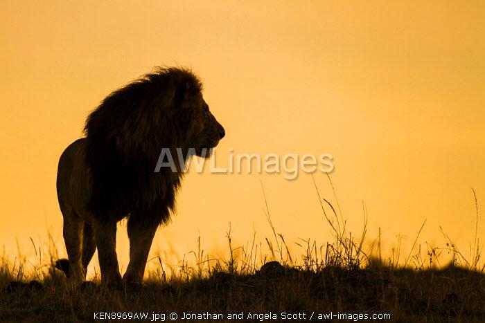 Africa, Kenya, Masai Mara, Narok County. Silhouette of a lion
