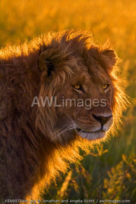 Africa, Kenya, Masai Mara, Narok County. A handsome male lion