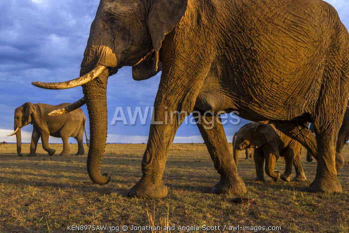 Africa, Kenya, Masai Mara, Narok County. A herd of elephants walking across the savannah.