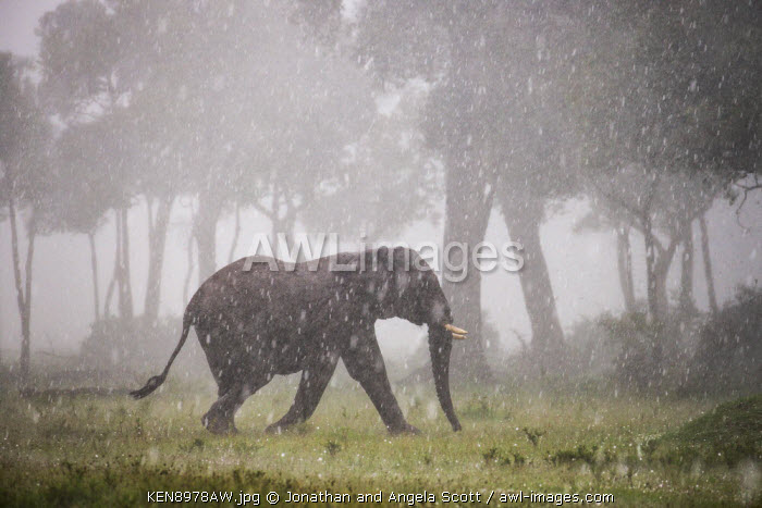 Africa, Kenya, Masai Mara, Narok County. Elephant walking through a hail storm.