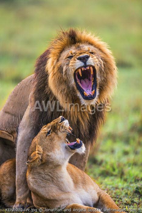 Africa, Kenya, Masai Mara, Narok County. Lions mating.