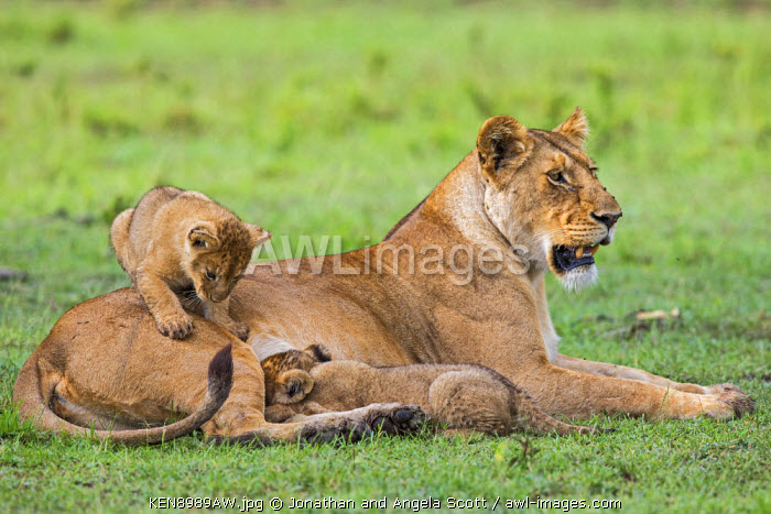 Africa, Kenya, Masai Mara, Narok County. Lioness with her cubs