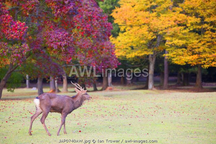 Deer in Nara Park, Nara, Kansai, Japan