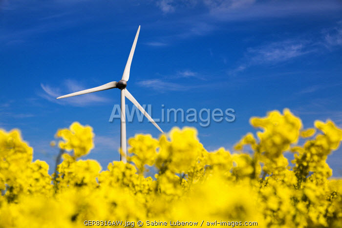 Wind turbine in rape field, Nordstrand island, Northern Frisia, Schleswig-Holstein, Germany