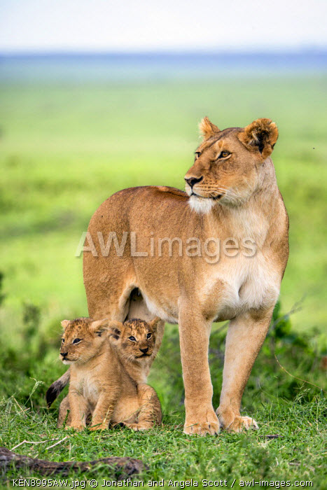 Africa, Kenya, Narok County, Masai Mara National Reserve. A Lioness and her cubs.