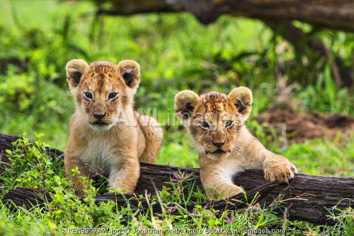 Africa, Kenya, Narok County, Masai Mara National Reserve. Two watchful lion cubs.