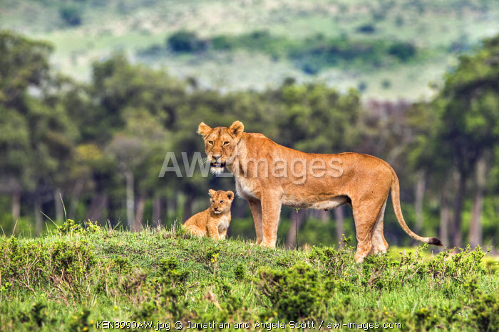Africa, Kenya, Narok County, Masai Mara National Reserve. A Lioness and her cub.