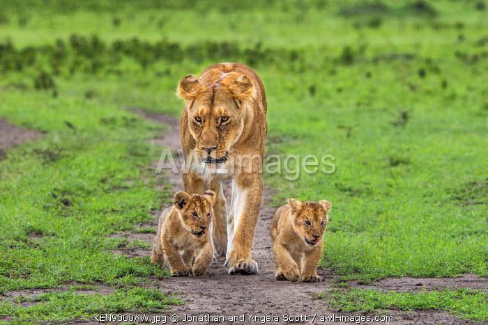 Africa, Kenya, Narok County, Masai Mara National Reserve. A Lioness and her cubs.