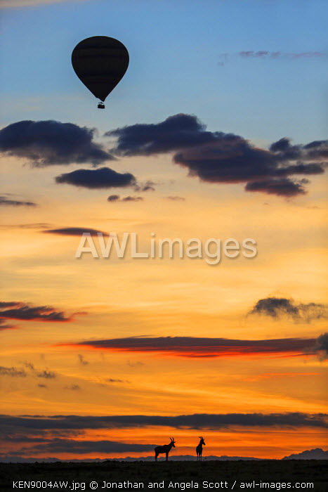 Africa, Kenya, Narok County, Masai Mara National Reserve. Silhouetted hot air balloon floating above two Topi at sunrise