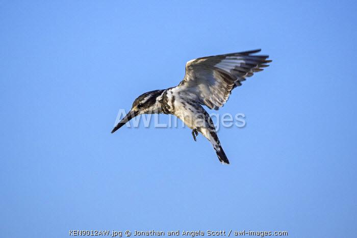 Africa, Kenya, Narok County, Masai Mara National Reserve. A Pied Kingfisher hovering.