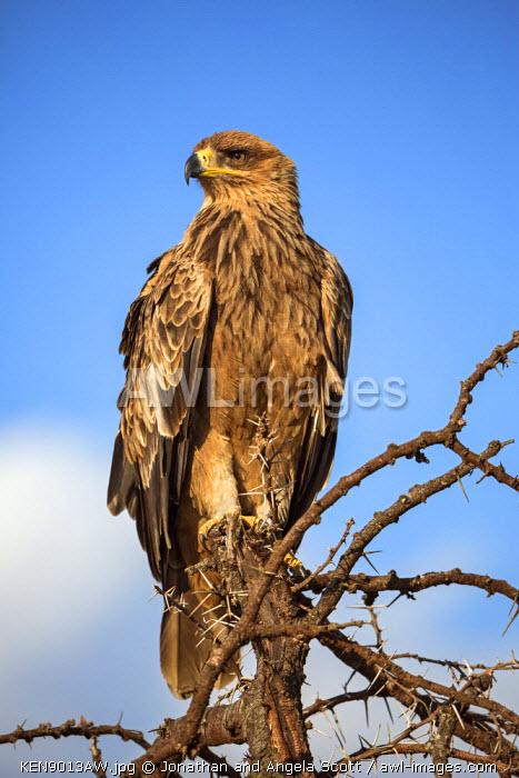 Africa, Kenya, Narok County, Masai Mara National Reserve. Steppe Eagle
