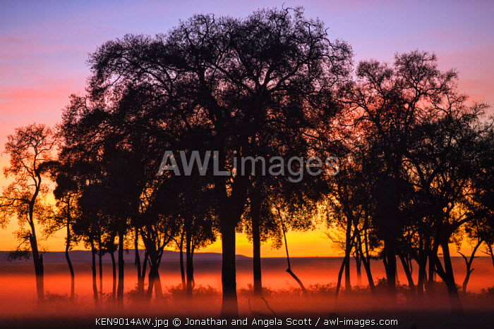 Africa, Kenya, Narok County, Masai Mara National Reserve. Silhouetted trees against the dawn.