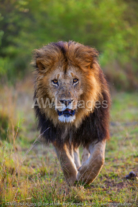 Africa, Kenya, Narok County, Masai Mara National Reserve. Dark-maned Lion