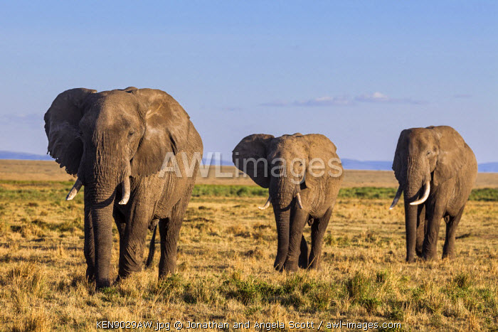 Africa, Kenya, Narok County, Masai Mara National Reserve. Elephants.