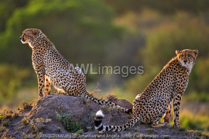 Africa, Kenya, Narok County, Masai Mara National Reserve. Two Cheetahs sitting on a termite mound.