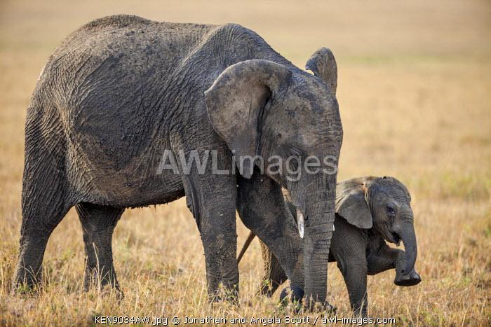 Africa, Kenya, Narok County, Masai Mara National Reserve. Elephant and calf.