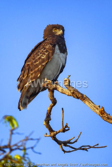 Africa, Kenya, Narok County, Masai Mara National Reserve. A Black-chested snake eagle.