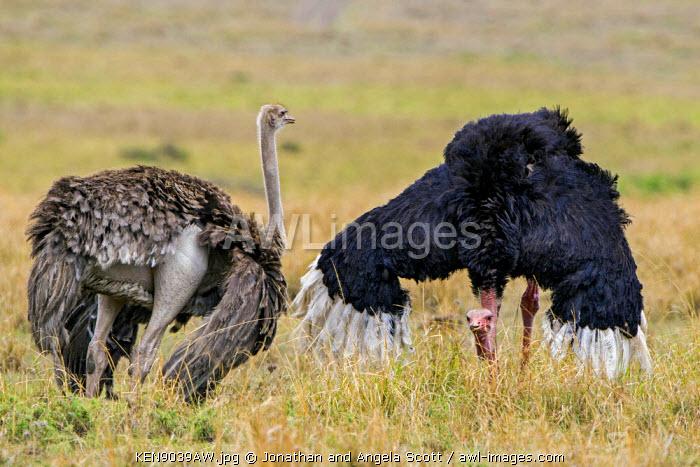 Africa, Kenya, Narok County, Masai Mara National Reserve. Ostriches in a mating dance.