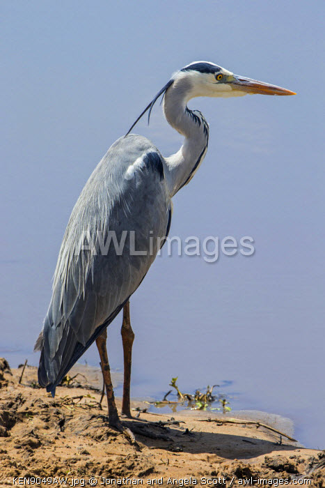 Africa, Kenya, Narok County, Masai Mara National Reserve. Grey Heron.