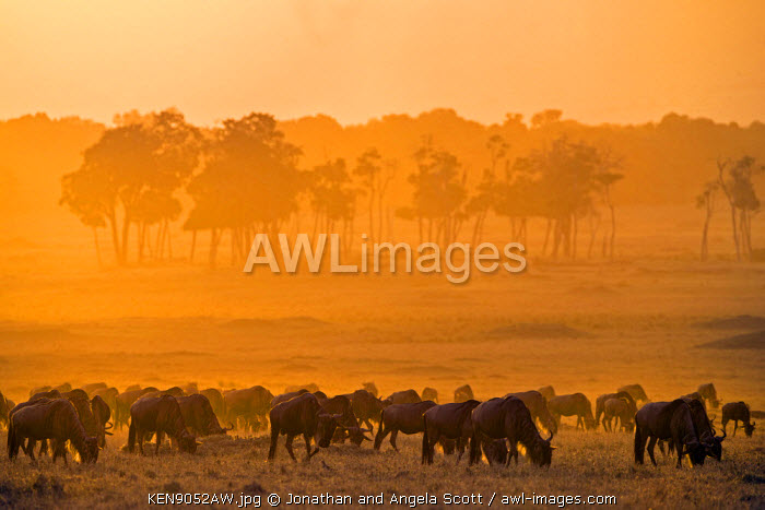 Africa, Kenya, Narok County, Masai Mara National Reserve. A herd of Wildebeest grazing in the early morning light