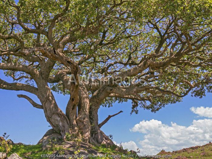 Africa, Kenya, Narok County, Masai Mara National Reserve. Leoppard sleeping in a fig tree.