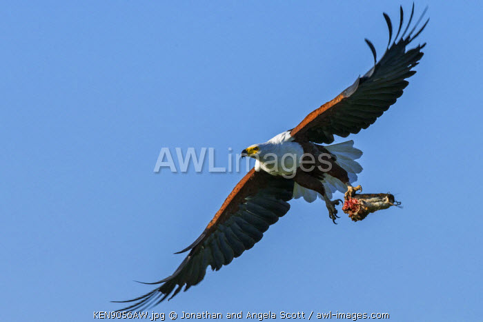 Africa, Kenya, Narok County, Masai Mara National Reserve. Fish eagle with a catfish.