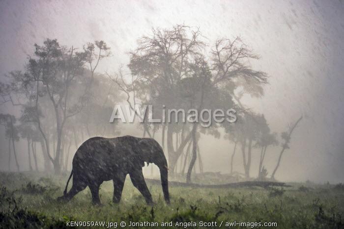 Africa, Kenya, Narok County, Masai Mara National Reserve. Elephant walking through a rain storm.