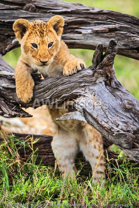 Africa, Kenya, Narok County, Masai Mara National Reserve. Lion cub watching from a fallen branch.
