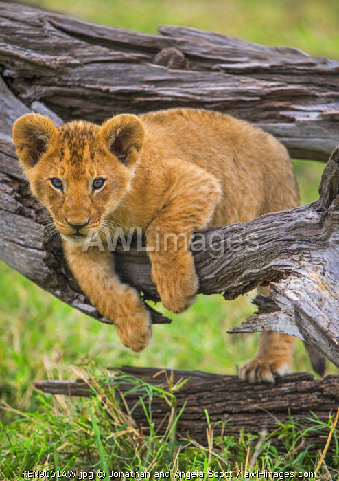 Africa, Kenya, Narok County, Masai Mara National Reserve. Lion cub watching from a fallen branch.