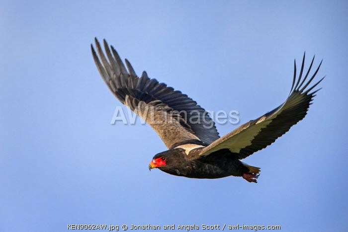 Africa, Kenya, Narok County, Masai Mara National Reserve. Bateleur in flight.