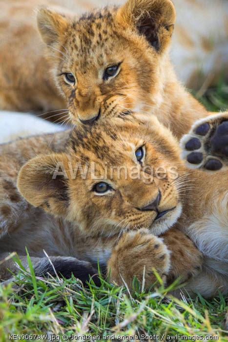 Africa, Kenya, Narok County, Masai Mara National Reserve. Lion cubs playing.