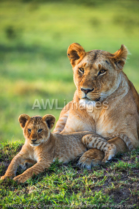 Africa, Kenya, Narok County, Masai Mara National Reserve. Lioness and her cub.