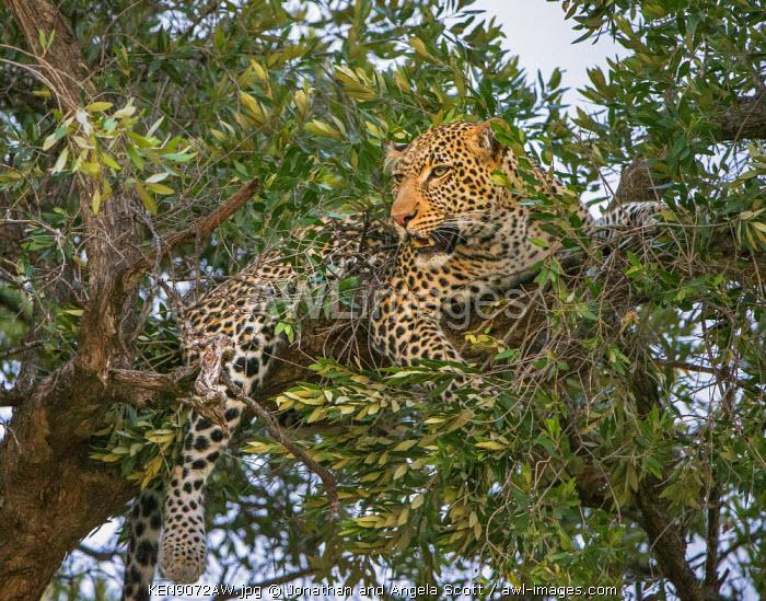 Africa, Kenya, Narok County, Masai Mara National Reserve. Leopard resting in a tree.