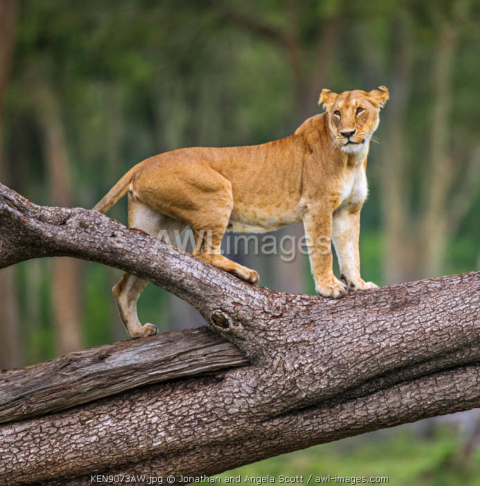 Africa, Kenya, Narok County, Masai Mara National Reserve. A Lioness watching from a tree trunk.