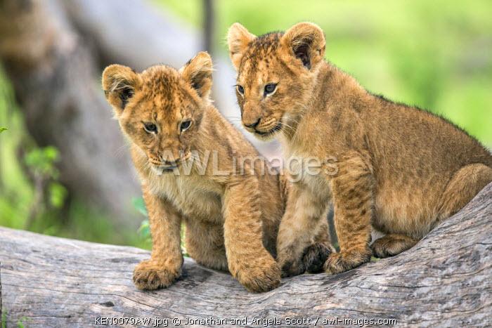 Africa, Kenya, Narok County, Masai Mara National Reserve. Two Lion cubs.