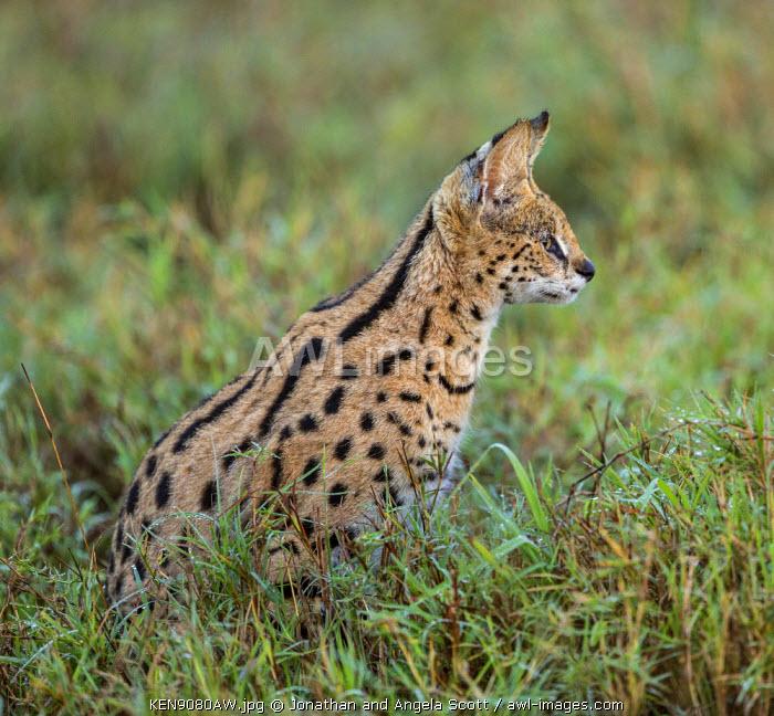 Africa, Kenya, Narok County, Masai Mara National Reserve. Serval Cat