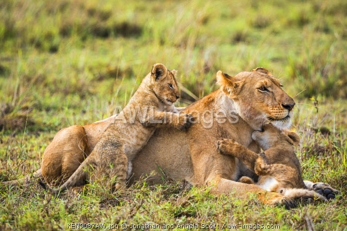 Africa, Kenya, Narok County, Masai Mara National Reserve. Lioness and her cubs