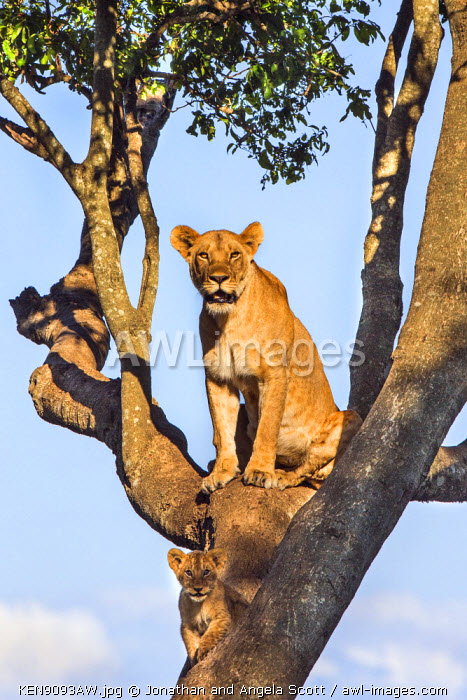 Africa, Kenya, Narok County, Masai Mara National Reserve. Lioness and her cubs in a tree.