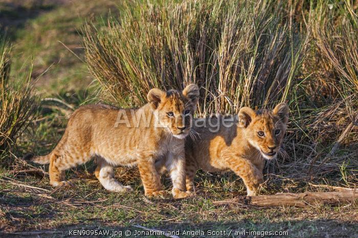 Africa, Kenya, Narok County, Masai Mara National Reserve. Lion Cubs