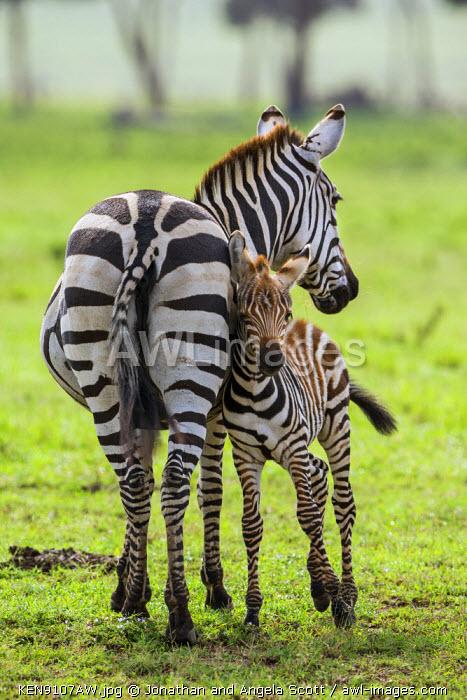Africa, Kenya, Narok County, Masai Mara National Reserve. A Zebra and her foal.
