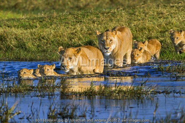 Africa, Botswana, Okavango Delta, Duba Plains. Pride of Lions