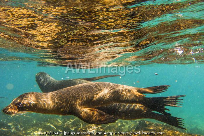 South America, Ecuador, Galapagos Islands. Galapagos sea lion swimming.