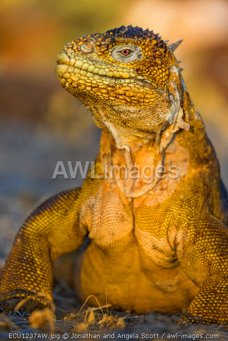 South America, Ecuador, Galapagos Islands, North Seymour Island. Galapagos Land Iguana.