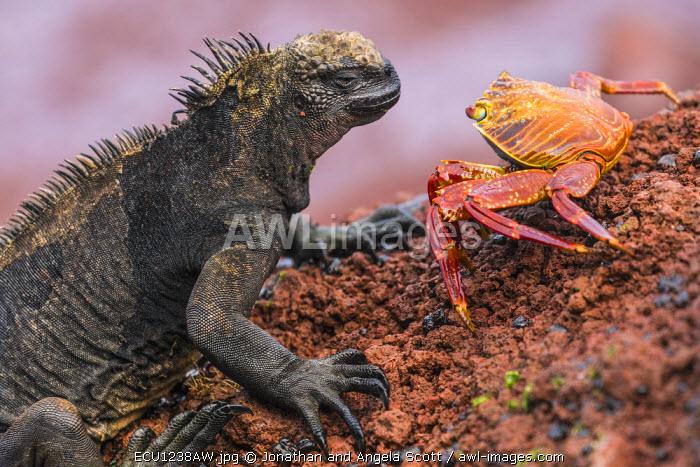 South America, Ecuador, Galapagos Islands. Marine Iguana