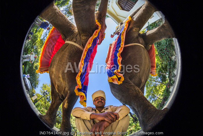 Asia, India, Rasthan, Ranthambore National Park. Low angle fisheye view of a indian man and elephants.