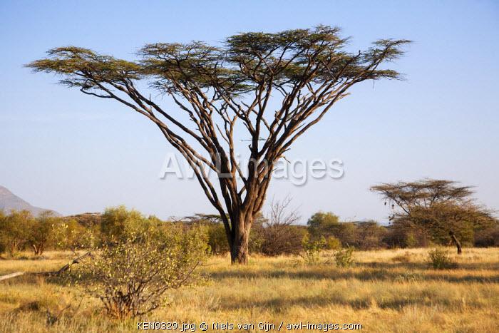 Kenya, Shaba National Park. A magnificent Acacia Tortilis.