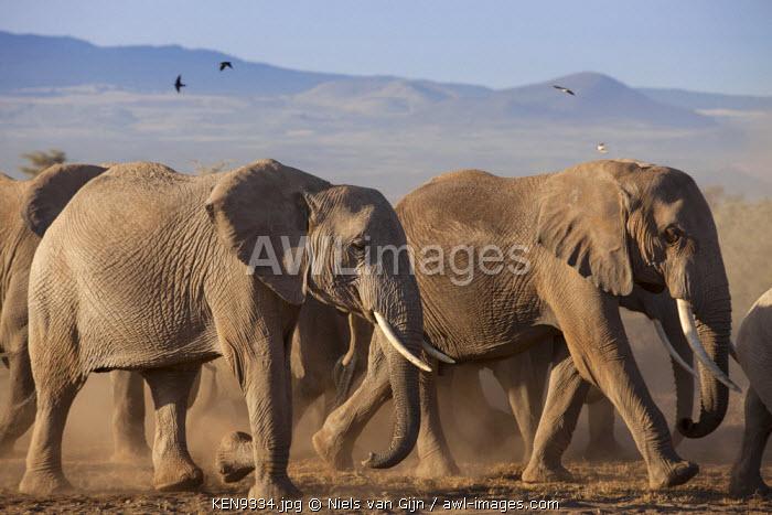 Kenya, Amboseli National Park. A breeding herd of elephant.