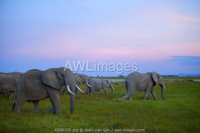 Kenya, Amboseli National Park. Evening elephants in the watermeadows.
